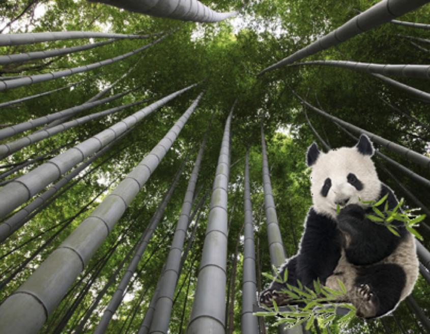 Moso bamboe groeit de lucht in!